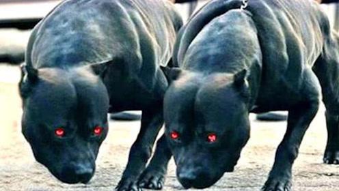 比特犬为什么被列为禁养犬?威力究竟多大?看完吓出冷汗了!
