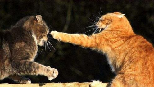 为啥猫咪打架的时候,第一招就是一巴掌扇过去?想象和现实有些差距