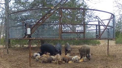农场主设好陷阱,野猪一家吃的正开心,发现情况不对!