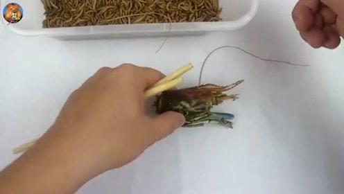 把大龙虾扔进一堆面包虫中,龙虾毫无还手之力,瞬间被吃成空壳