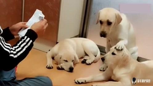 主人问赛文:喜欢儿子还是女儿?狗狗选择了女儿,下一秒忍住别笑