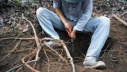 脚哥挖到宝贝了,50年的野生牛大力,都快被挖绝了,卖150一斤