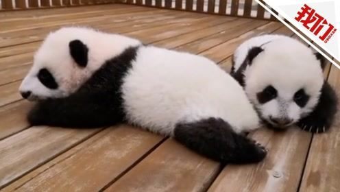 3只秦岭大熊猫萌宝公开招募认养 100万可终身冠名认养一只