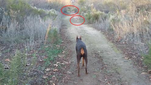 谁说狗怕狼,杜宾犬单挑5匹野狼,狼群直接认怂不敢应战