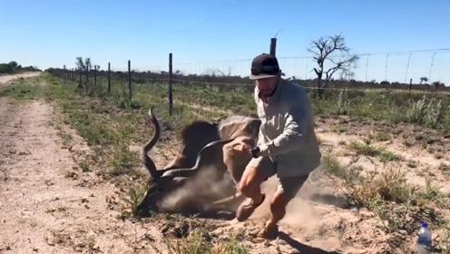 男子解救被困铁丝网的羚羊,羚羊获救后突然暴起,简直太惊险了