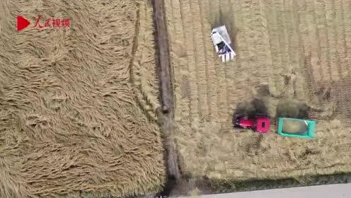 """航拍万亩水稻大丰收 机械收割机简直就像在""""毛毯""""上行走"""