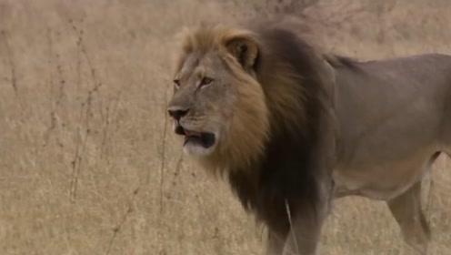 新狮王上位之后,欲要杀死老狮王的孩子,没想到母狮们集体怒了
