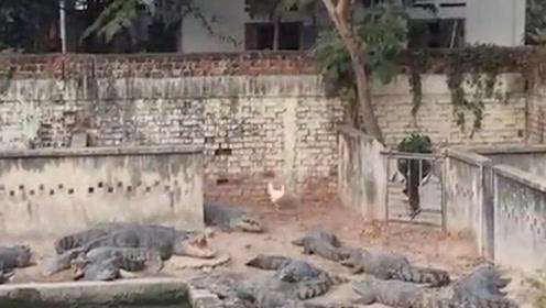 一群鳄鱼在岸上晒太阳,一只鸡闯进来后,鳄鱼池瞬间沸腾起来