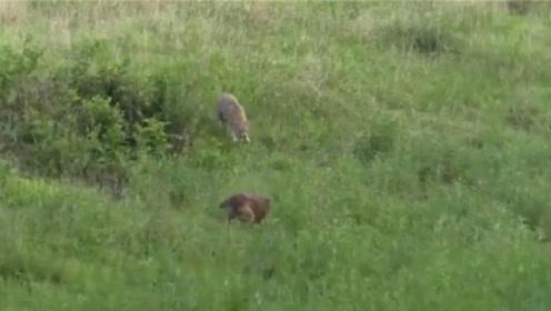 狗狗被野狐狸追杀,同伴听到惨叫声后赶来救援,并肩作战超霸气!