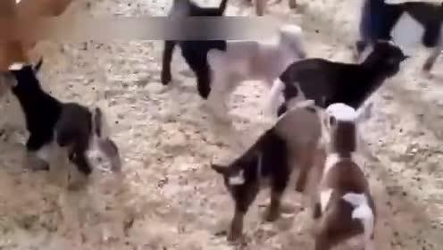 谁能想到,羊竟然是这么一种脑回路清奇的沙雕动物!