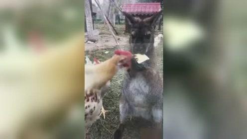 活久见!天津动物园一袋鼠竟被鸡欺负 接二连三被抢食物