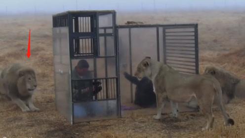游客被装进笼子中,放在大草原上和狮子近距离接触,惊险刺激的一幕