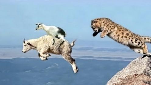 为保护孩子不被敌人捕食,山羊将雪豹引到悬崖边,结局让人欢呼