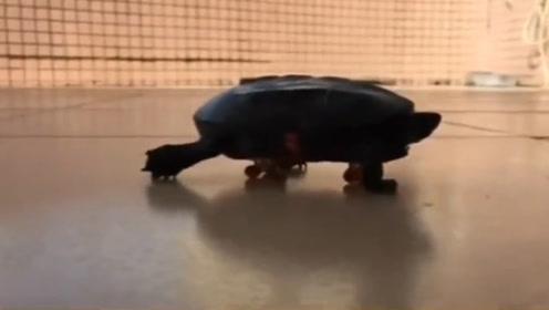 龟版阿甘!残疾小龟爬上滑板,从此走向龟生巅峰!