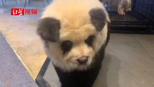 """举报,养国宝?!不要搞错了,这是成都一宠物咖啡馆的""""熊猫狗"""""""