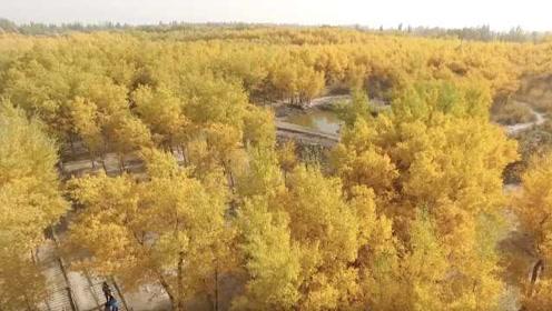 新疆千万亩胡杨林最美观赏季, 浩瀚金海震撼游客