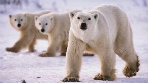 给北极熊设立监狱你听过吗?每年11月熊比人多,有专门的熊警