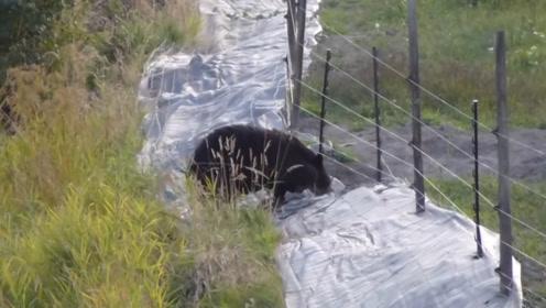防止猛兽而设置的高压线,碰到黑熊居然成了摆设,这也太聪明了