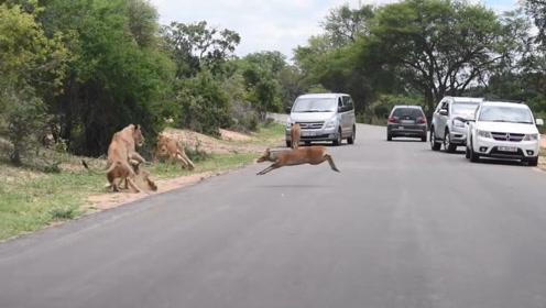迫于生活的压力小鹿奔向狮群,狮子瞬间兴奋起来,这是投狮自尽?