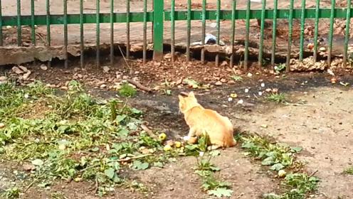 老鼠仗着身形巨大,在喵星人眼皮下觅食,殊不知它是一只橘猫