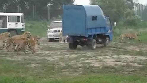 一头活牛喂12只东北虎,打开车门的那一刻,场面太壮观