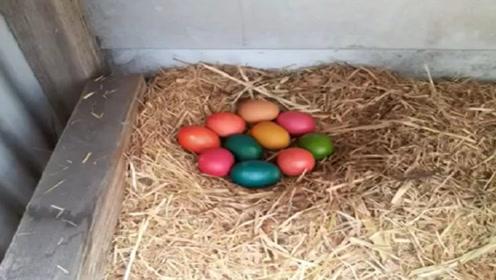 鸡蛋被主人染色后放回鸡窝里,母鸡回来懵了,下秒做法让人惊讶