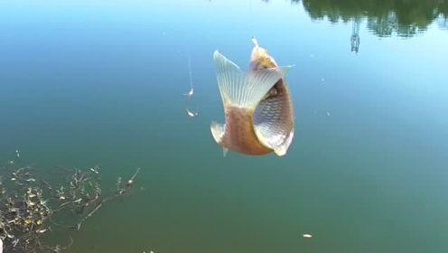 野钓鲫鱼,这样的鲫鱼口很标准,中鱼率80%以上