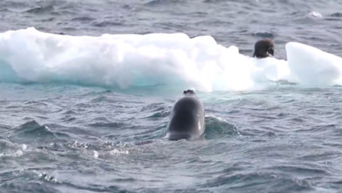 小企鹅被困浮冰上,一头海豹虎视眈眈游过来,下一秒画风突变
