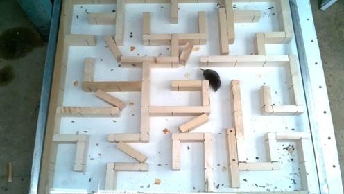 小老鼠可以走出复杂的迷宫吗?这回可终于把它给难倒了