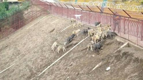 圈养的狼还会狩猎吗?扔活鸡进狼圈,看看结果就知道了!