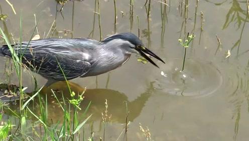这只小鸟素食吃腻了吗,竟然学会,用面包片钓鱼吃