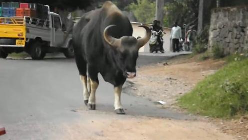 云南边境发现白肢野牛,重达1.5吨,连孟加拉虎都惹不起它