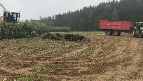 农夫开收割机收玉米,一大群野猪集体搬家,农夫感觉自己亏大了