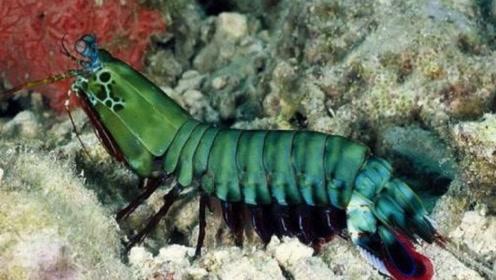 """世界上最凶猛的虾,运输要用""""防弹鱼缸"""",号称打遍海洋无敌手"""