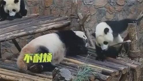 大熊猫妈妈太凶了,熊猫宝宝走个路都小心翼翼!