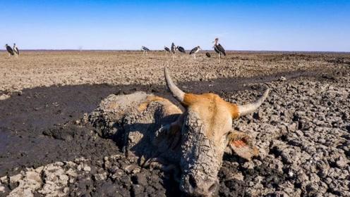 非洲最惨烈的一幕 湖泊干成小水洼进与不进都是个死