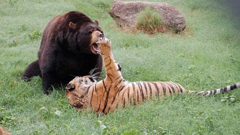 终于发现比老虎还恐怖的动物,重达1600斤,一掌能拍死狮子