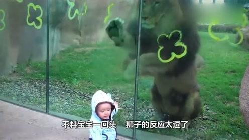 狮子兽性大发准备偷袭小宝宝,不料宝宝一回头,狮子的反应太萌了