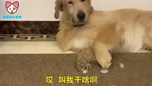 金毛被男主坑了,本想装睡,结果被扣上大傻狗的名字,太难了