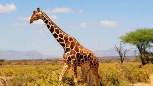 为什么长颈鹿一旦摔倒,很快就会死掉?今天可算是涨见识了!
