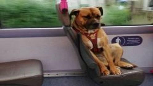 天天独自散步的狗,自己坐公交刷卡,你家的狗狗可以吗?