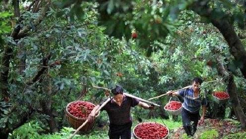 世界上最傲娇的水果,掉到地上都不可以吃,真的很任性!