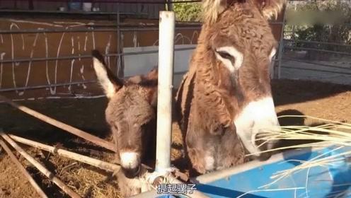 骡子为何不能繁衍后代?原来是马和驴捣的鬼,看完大长见识