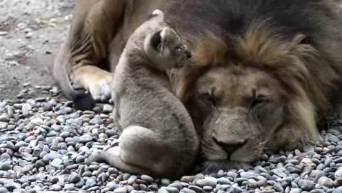母狮昨晚才跟雄狮打了架,但孩子想爸爸了,母狮没办法,只能带孩子去见它