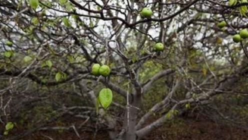 """世界上""""脾气""""最大的树,摸不得、砍不得、烧不得,敢动它就丧命"""