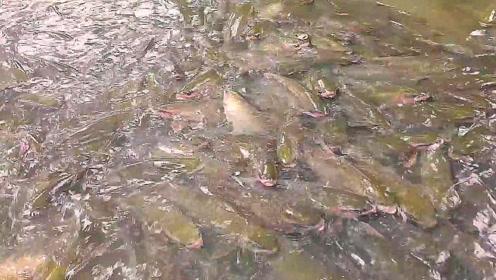 村里小河突然冒出无数大鱼,密密麻麻聚成窝真让人震撼!