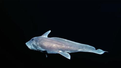 地球上最可怕的鲨鱼,幽灵鲨用下颚碾压食物,须鲨是最好的伪装者