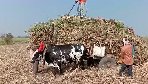 满满一大车的甘蔗,牛已经筋疲力竭了,印度农民这操作太狠了