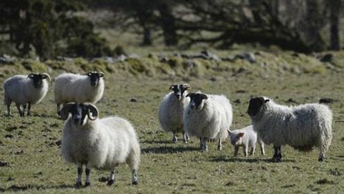 野狼追捕羊群,逼近时发现最后一只羊不对劲,镜头记录全过程