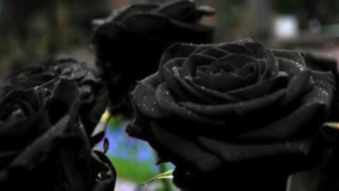 """一支黑玫瑰500元,品种高贵培育困难,一不小心就""""吸热""""自毁!"""